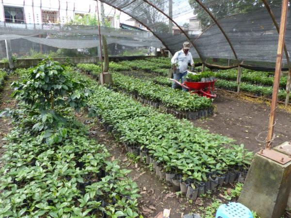 Café bio LBB Sumatra